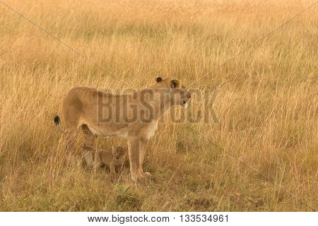 Female lion with cub in the grass of Masai Mara Kenya