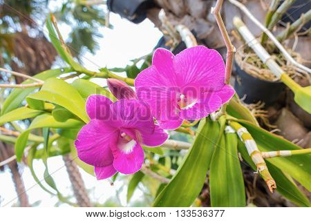 Beautiful purple orchid on green leaf Purple Denerobium Orchids. (select focus front flower purple orchid)