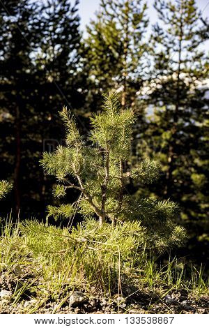 Nature Scenic Close Up of Small Evergreen Tree Sapling Growing in Forest with Mature Coniferous Trees in Background on Sunny Day