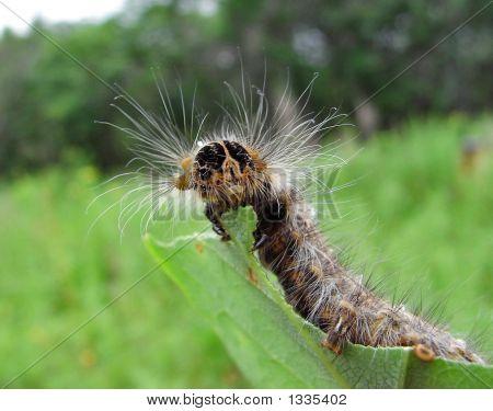 Caterpillar de bebedor-polilla (Cyclophragma Undans Fasciatella).