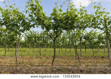 Vineyard with vines at Borgo Impero Piedmonte Italy