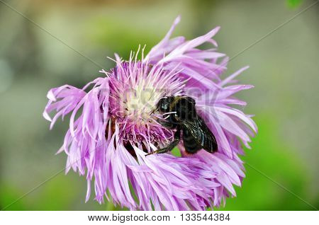 The flower and collecting the nectar from it bee on blurred background