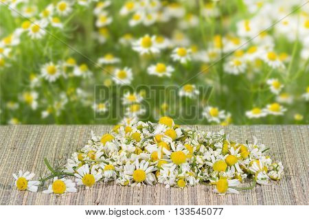pile assembled chamomile flowers on table on a bloom chamomile background at sunny day