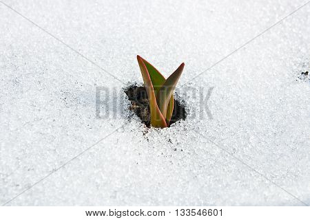 Tulip Flower Coming Out From Real Snow