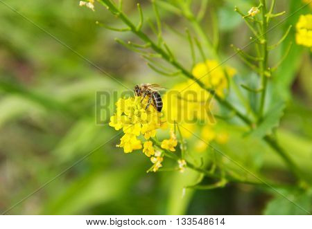 bee feeding on yellow blooms of rapeseed