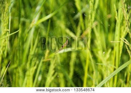 thin spider on the cobweb in the green grass