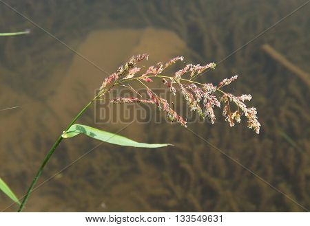 close photo of blooming grass of genus Poa at the water