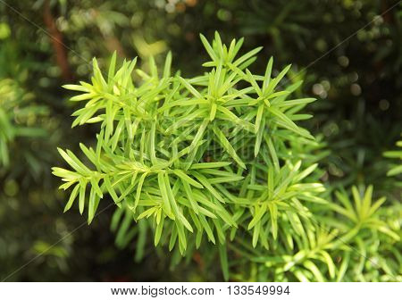 close photo of fresh green needles of yew