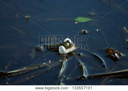 Croaking green frog in a forest swamp