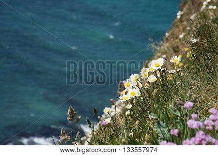 Wild Flowers Blooming On The Cliff Over The Ocean