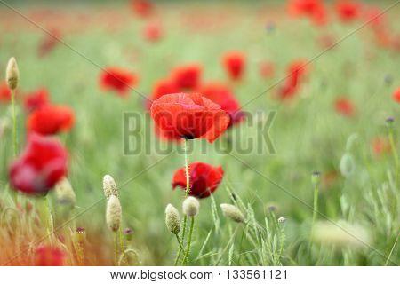 Red poppy flowers in the oil seed rape fields