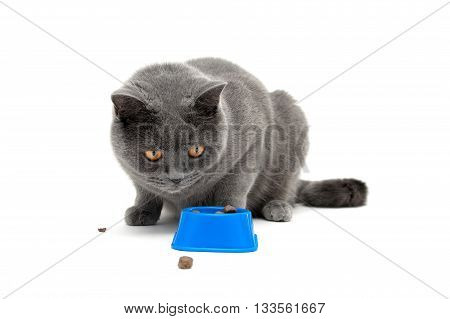 cat sitting around the bowl on a white background. Horizontal photo.