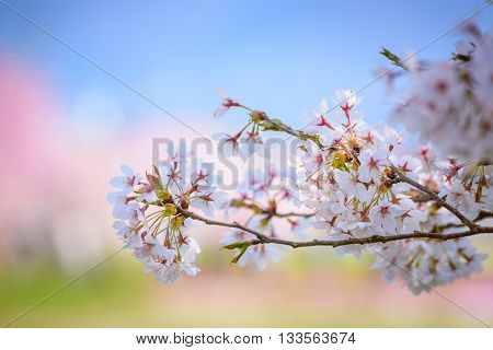 Pink Cherry blossom in Japan and bokeh background