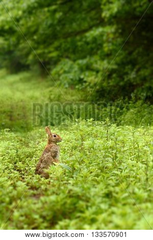 Eastern cottontail rabbit (Sylvilagus floridanus) eating grasses and green plants in a field.