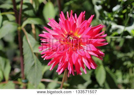 Pink blooming Semi cactus dahlia, Dahlia Alexander Voit, in a garden in Germany