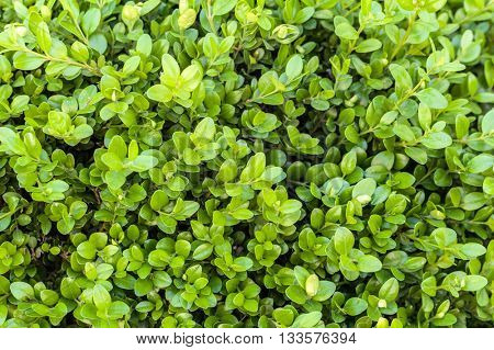fresh leaves on a boxwood