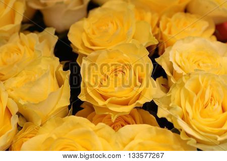 Bouquet of bright and fresh yellow Roses