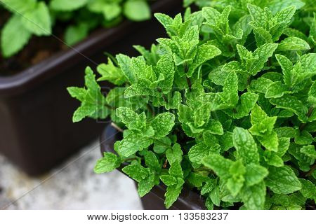 Detail on home-grown green mint in flower pot
