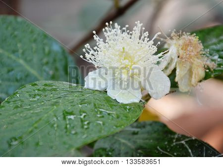 guava flower and drop of water in the garden