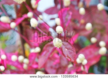 Dentata ruby tropical decorate plant in garden