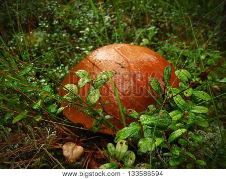 boletus mushroom hiding in the moss in the forest
