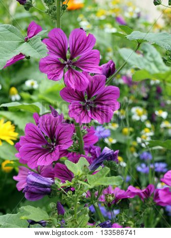 Flowering Mallow Malva sylvestris mauritiana; selected focus narrow depth of field