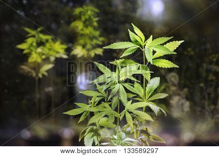 Hemp sprout young leaves on a dark background