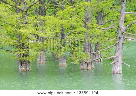 Growing Out Of The Water Of Pine Tree Trunks Of Cypress Swamp