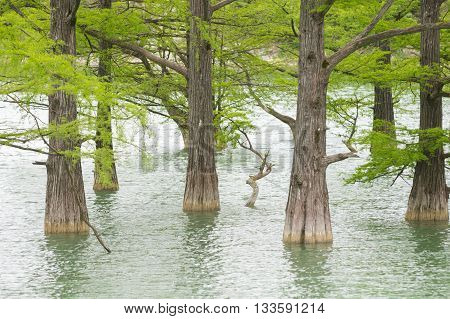 Trunks Closeup Cypress Swamp, Growing Out Of The Water Of A Mountain Lake