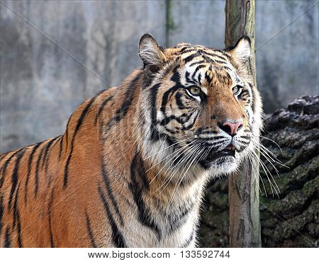 view of the dangerous exotic animals - tiger