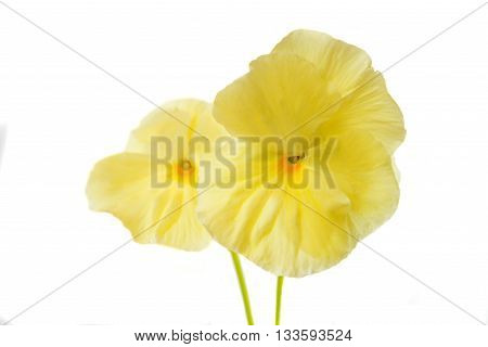 flower yellow pansy isolated on white background