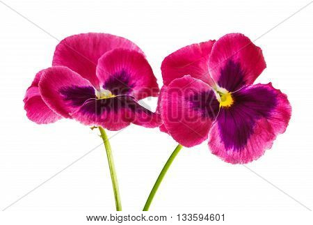 flower violet pansy isolated on white background
