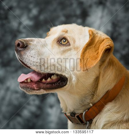Yellow and white dog looking up and away with blue gray background