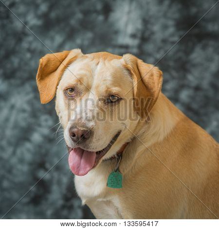 Yellow and white dog portrait against blue background