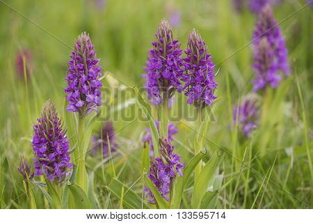 Group of Southern Marsh-orchid (Dactylorhiza praetermissa) flowering in a Dune Valley