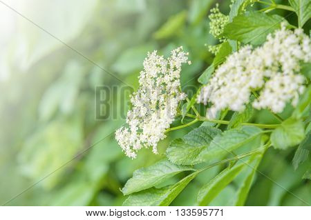 White blossoms elderberry in the background of thick, bright green of its leaves