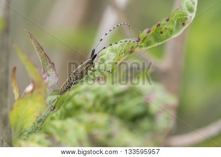Golden-bloomed Grey Longhorn (Agapanthia villosoviridescens) resting on a leaf of a plant