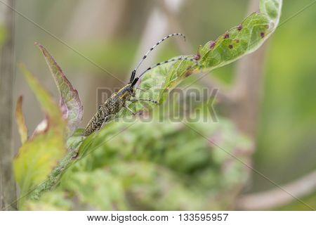 Golden-bloomed Grey Longhorn (Agapanthia villosoviridescens) resting on a leaf of a plant