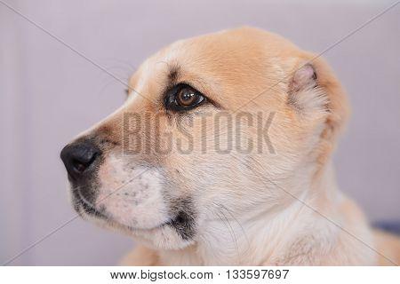 Central Asian Shepherd puppy, closeup