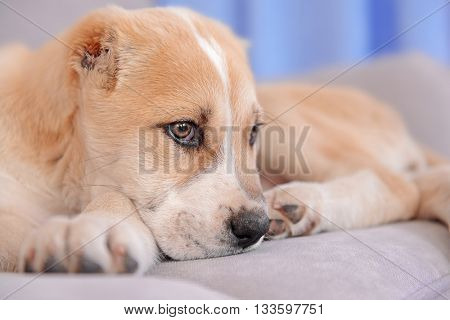 Central Asian Shepherd puppy lying on the sofa indoors