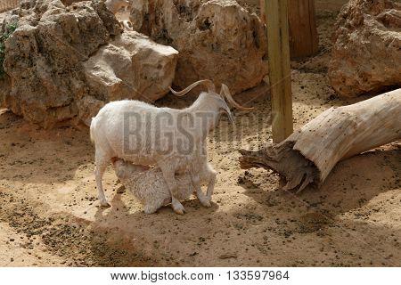 Goat Sucking Milk