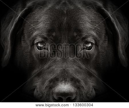 dark muzzle labrador dog closeup. front view