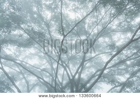 The greatest tree in the morning with dense fog at Northern of Thailand.