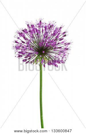 Beautiful meadow flower (Purple Giant Allium), isolated on white