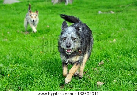 Young dog running on the grass. Mongrel dog, mongrel dog similar to the breed Cairn Terrier or a Australian terrier.