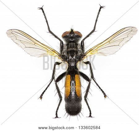 Tachinid Fly Cylindromyia on white Background  -  Cylindromyia auriceps (Meigen, 1838)