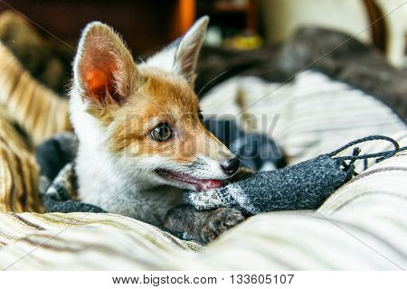 small fox lying on the pillow. 3 months the little fox. Little fox domestication