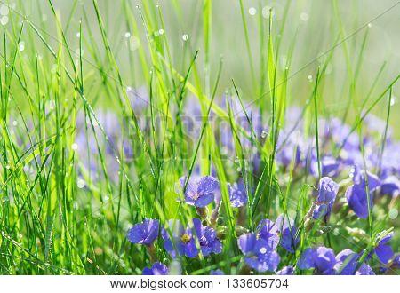 Backlit Droplets Morning Dew On Summer Sunlit Glade