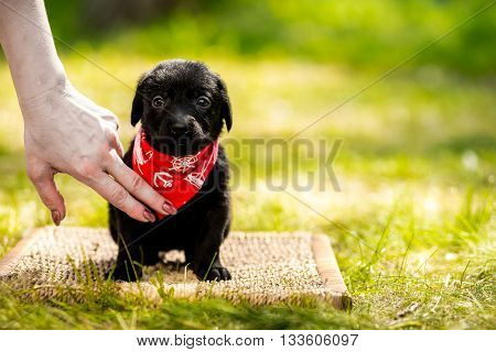 Labrador retriever puppy in the park on the nature. Labrador retriever puppy in the yard