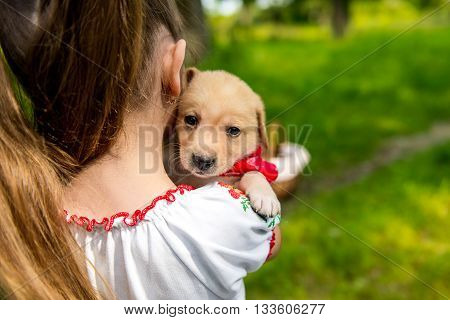 girl holding a puppy Labrador. purebred puppy labrador retriever and little girl